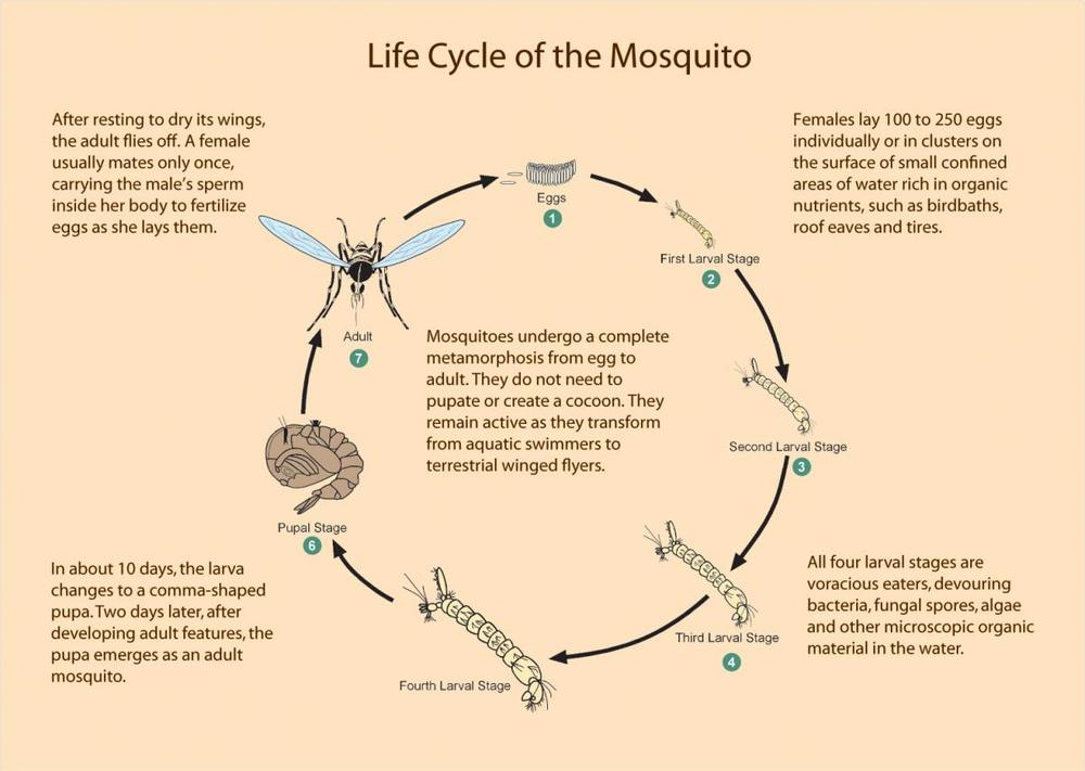 THE MOSQUITO LIFE CYCLE