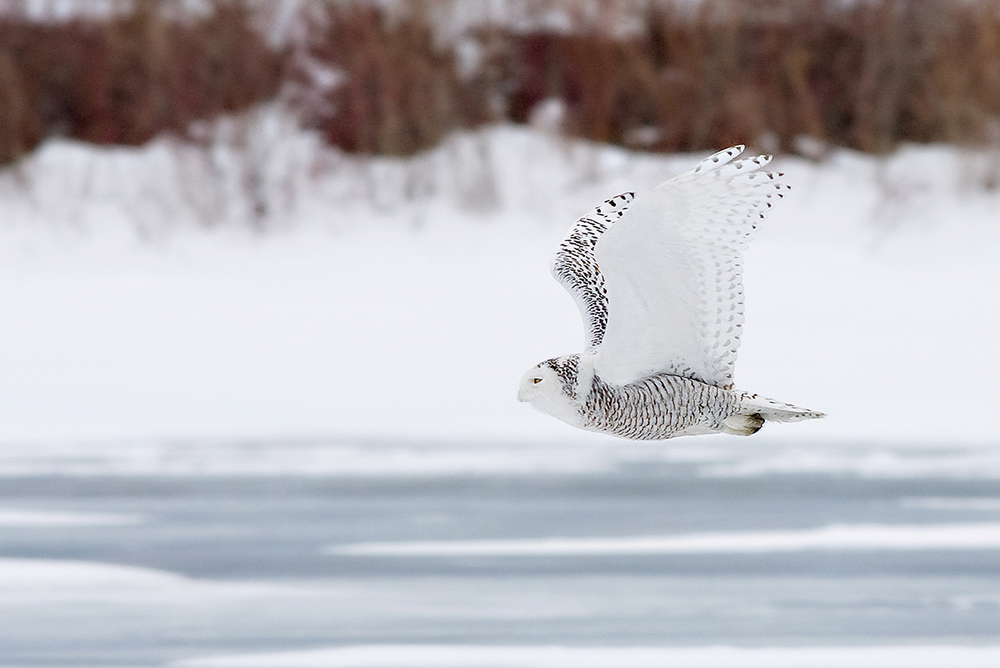Snowy Owl in Flight Small.jpg