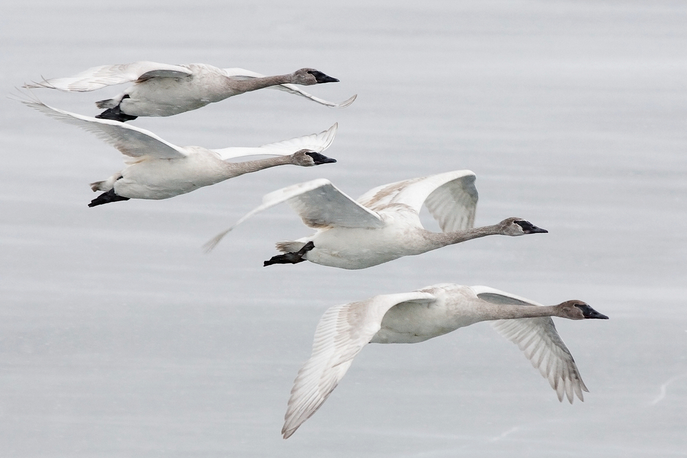 Swans in Flight Small.jpg