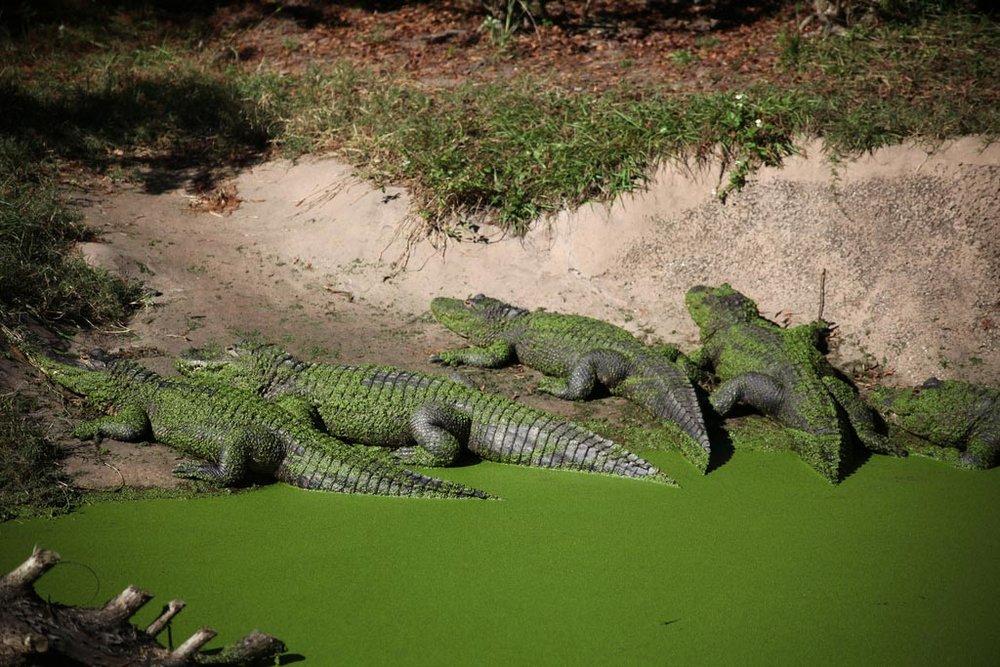 12-Jacksonville-Zoo-Wild-Florida-zoological-habitat-exhibit-design.jpg