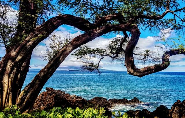 Wailea Beach Walk Tree