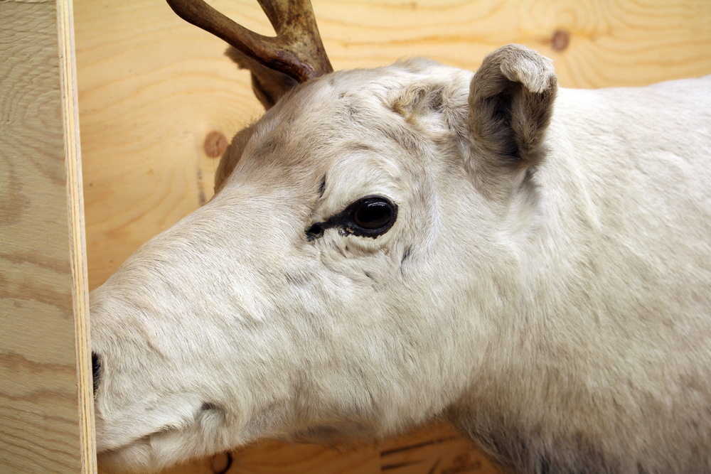 Extinct Dawson's Caribou