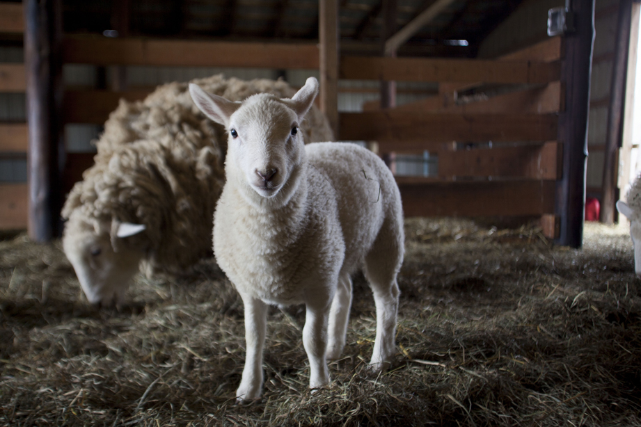 A baby lamb that was born mid-March 2013 feeds with it's mother inside the barn