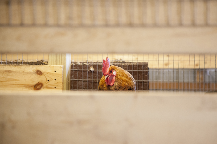 A chicken sits in its coop inside the barn at Miss BHaven Ranch.