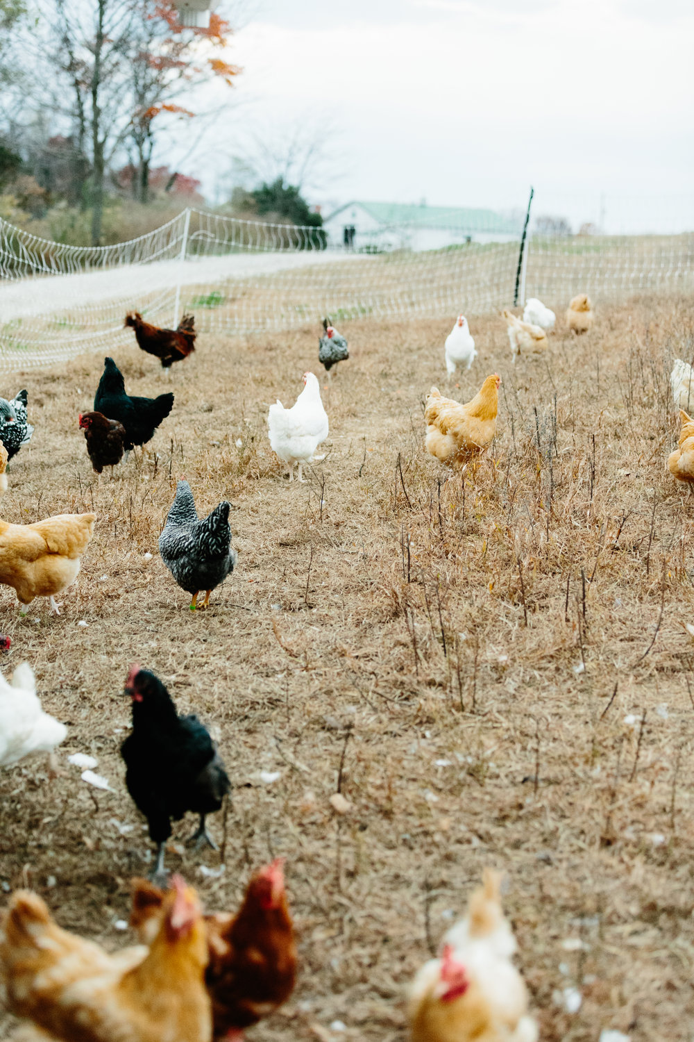 Documentary-photography-magazine-chickens-farm