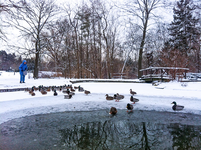 Ducks that are being fed by an older woman in the winter in Canada by a park