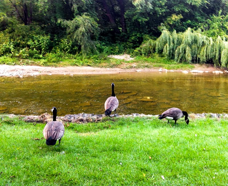 Some Canadian Geese by the Humber River in Etobicoke Canada