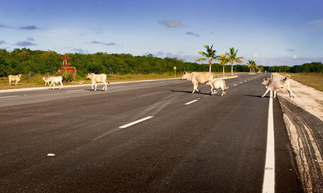 Cows blocking the road in Cayo Coco