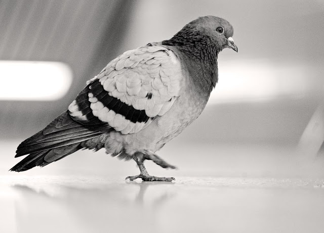 A pigeon inside TTC's Runnymede station