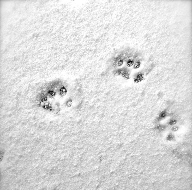 A cat's paw prints in the snow