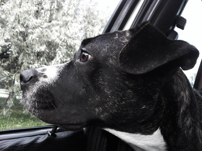 A dog looking out the window in a car