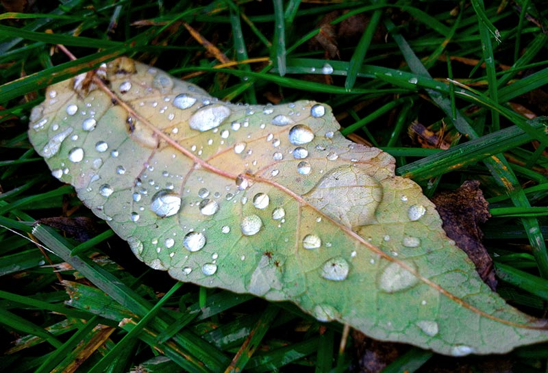 A leaf shot on the iPhone 4 with water drops on it by Dennis Marciniak