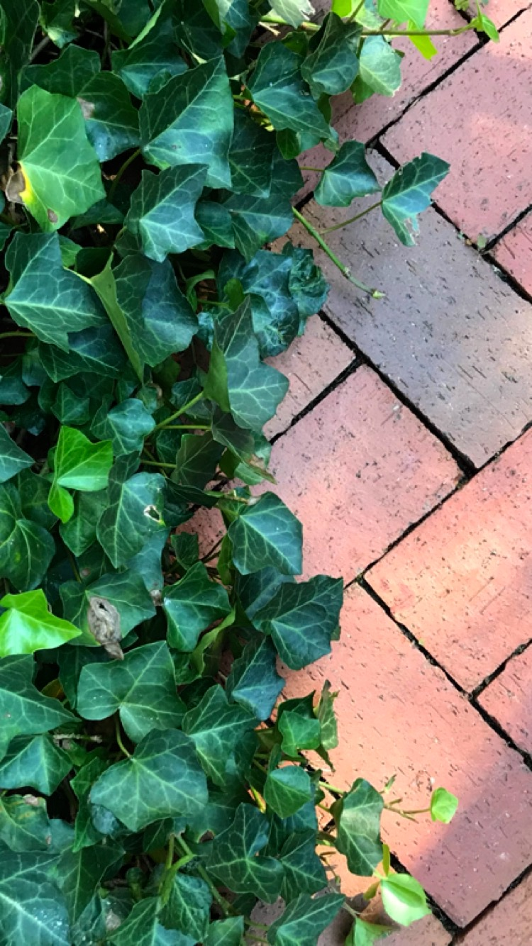 bricks and ivy.jpg