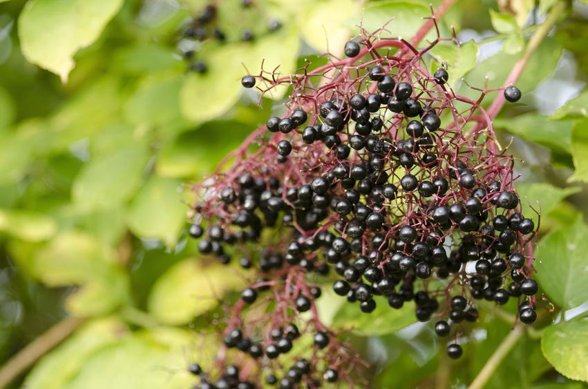 Twig of elderberry, Sambucus nigra, elder with ripe fruits