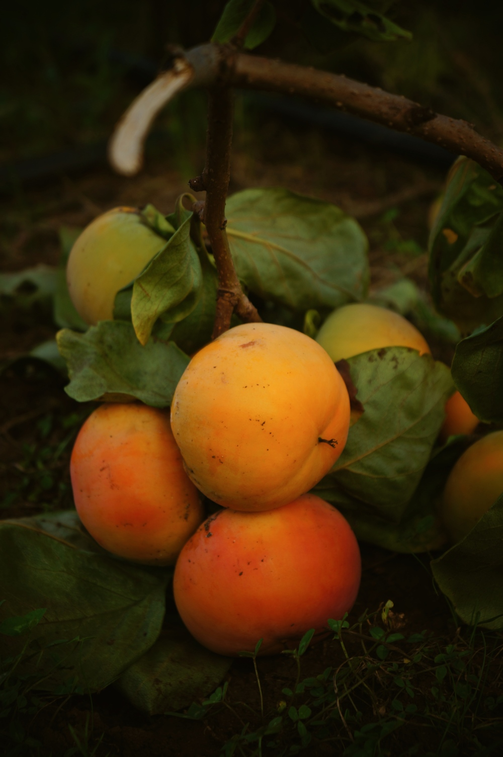 persimmon bunch.jpg