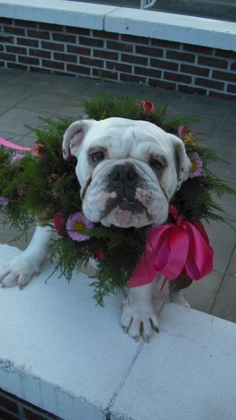 Flower Girl- Sophie Bulldog complete with garland/flower collar and leash