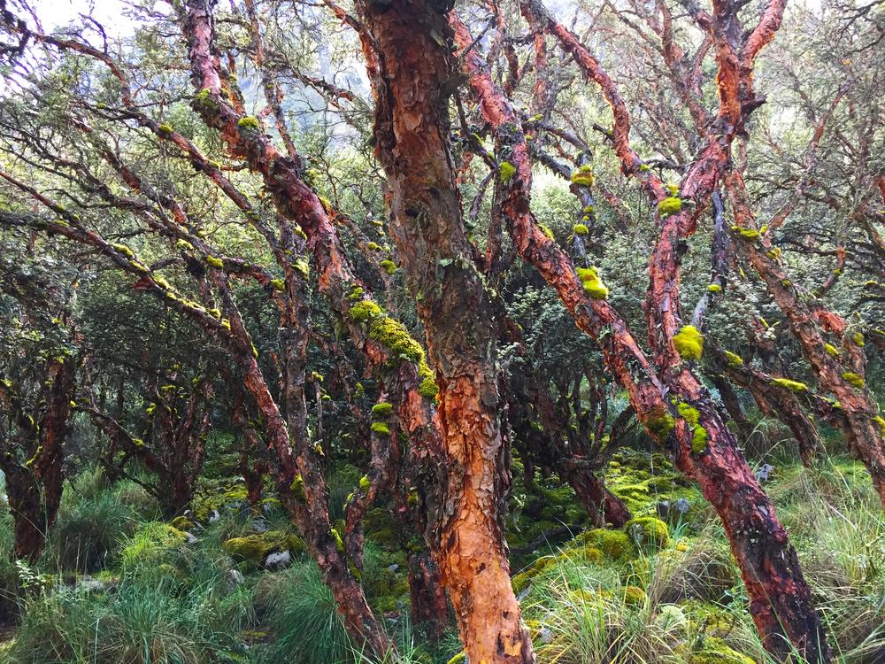 treeshuaraz.jpg