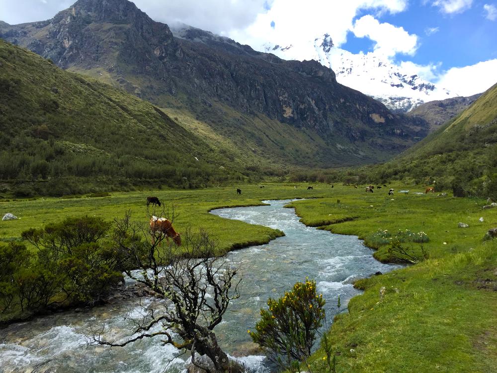 cowshuaraz.jpg