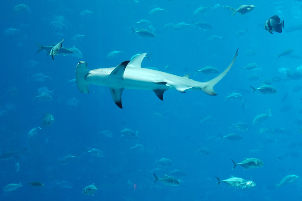 Diving with hammerheads via Flickr Creative Commons, copyright Josh Hallett