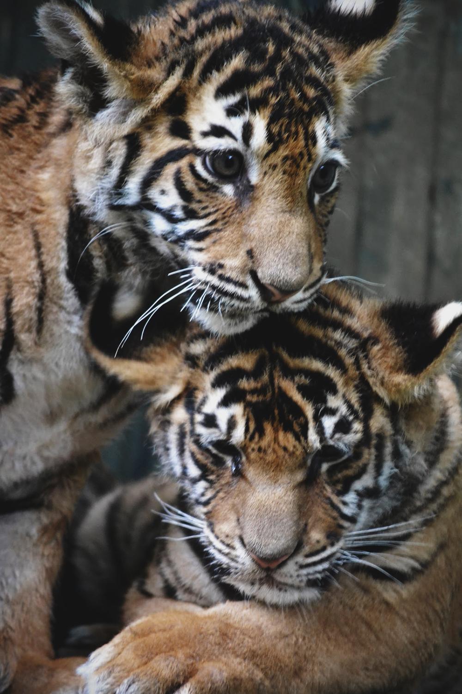 envyavenue :      Tiger Cubs
