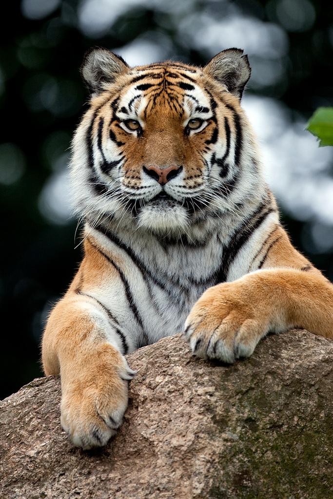 alltiger: Tiger (by Sera.D.)