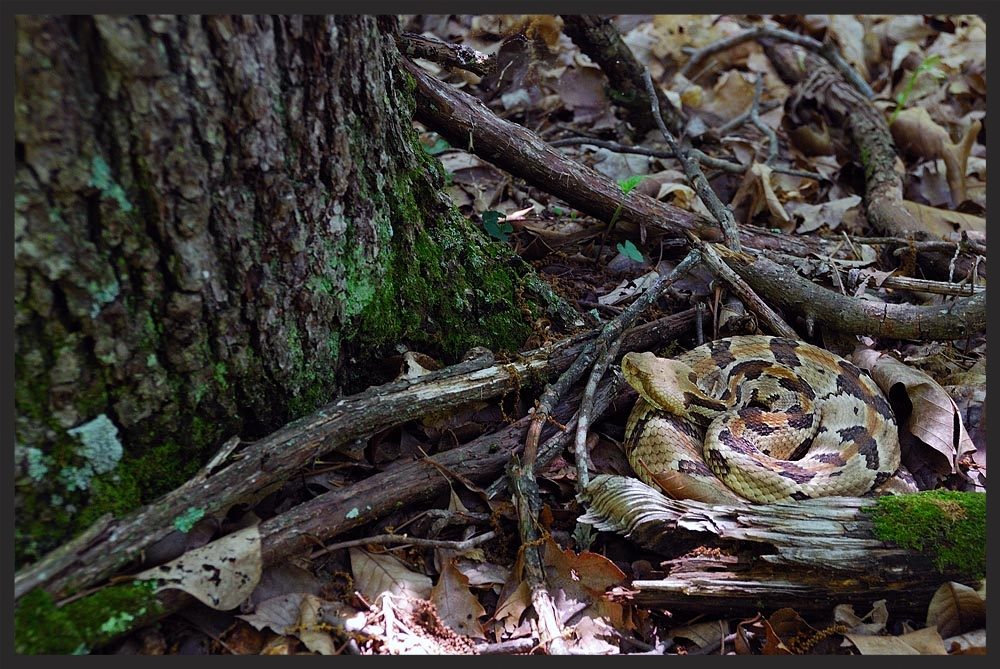 Adult male Timber Rattlesnake ( Crotalus horridus ) ambush foraging