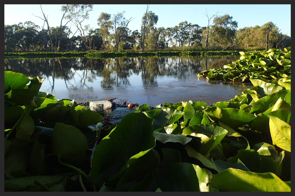 Turtle trap in a permanent wetland impacted by agriculture, invasive lilypads, and carp