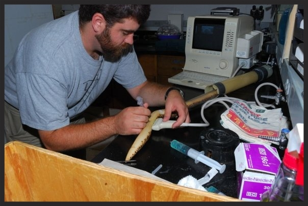 Sampling yolk, using an ultrasound machine, from an anesthetized  pregnant female Kenyan Sand Boa (Eryx colubrinus)