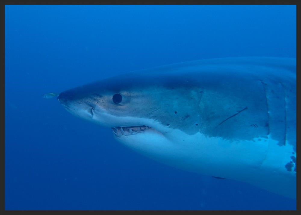 Adult male Great White Shark ( C  archarodon carcharias ) observed on a cage dive off Port Lincoln, South Australia