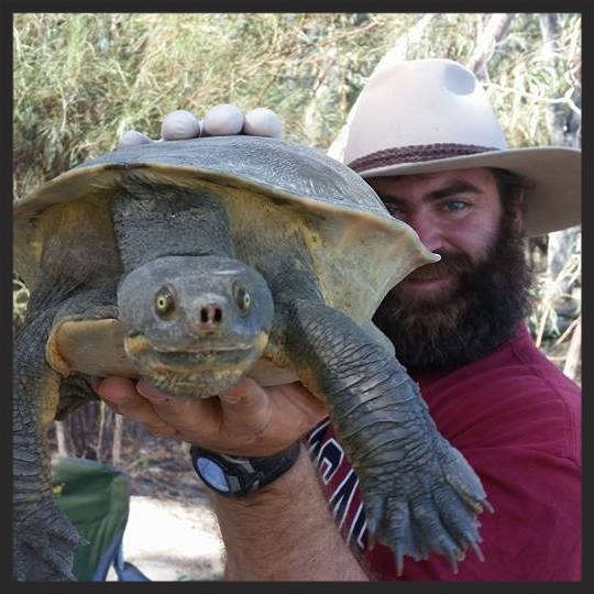 A massive female Murray River Short-Necked Turtle!
