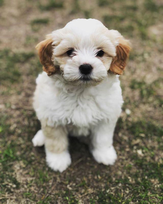 Got a new pup, and her name is Wonder. #miniaturegoldendoodle #goldendoodlepuppies