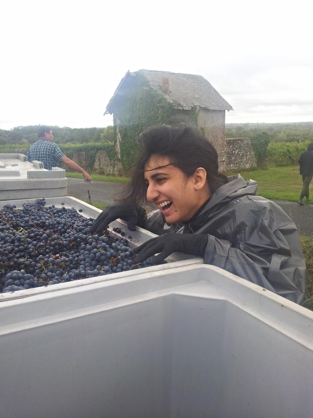 Having a laugh after harvesting Cabernet Franc grapes