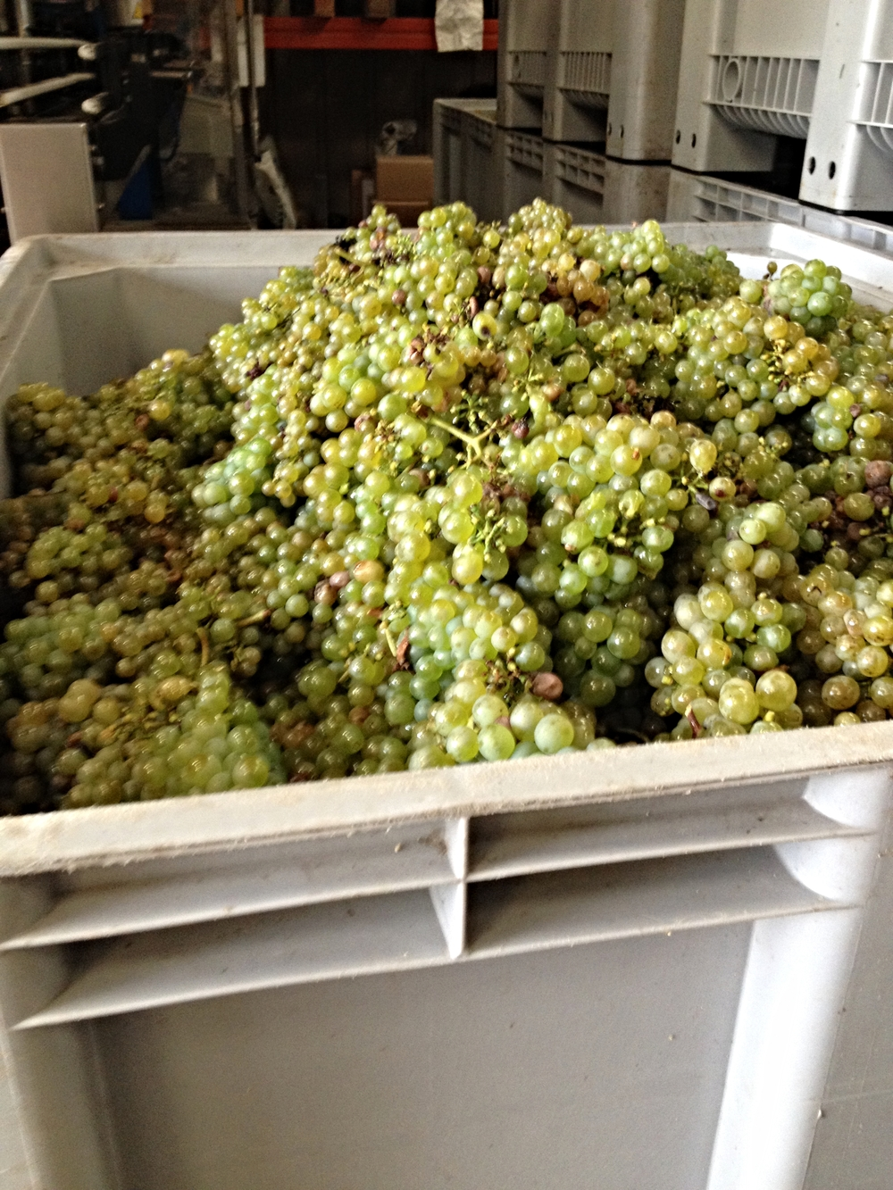 Harvested Chenin Blanc grapes