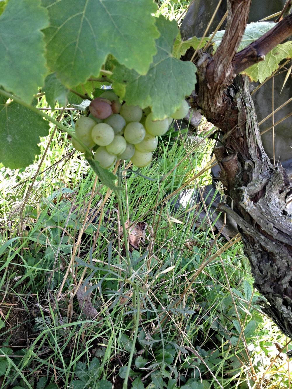Chenin Blanc on the vine