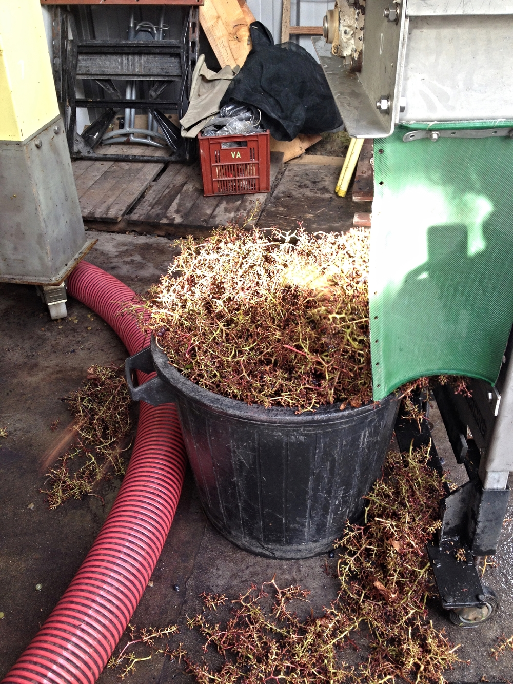 De- stemming the grapes: Grapes used in red wine must be de-stemmed before they are crushed