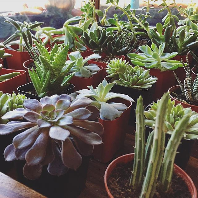 Today has been pretty yucky all around. Here are some cute baby succulents to make it all better . . . . . . . . . #wholeapothecary #chooselove #monday #plants #succulents #mondayblues  #greenthumb #shoplocal #shopsmall #denver #colorado #handmade #organic #smallbusiness #vegan #allnatural #plants #naturelovers #naturelover #flowers #greenbeauty #beauty #beautyblogger #beautybloggers #bbloggers #naturalbeauty #skincare #handcrafted #selfcare #vsco