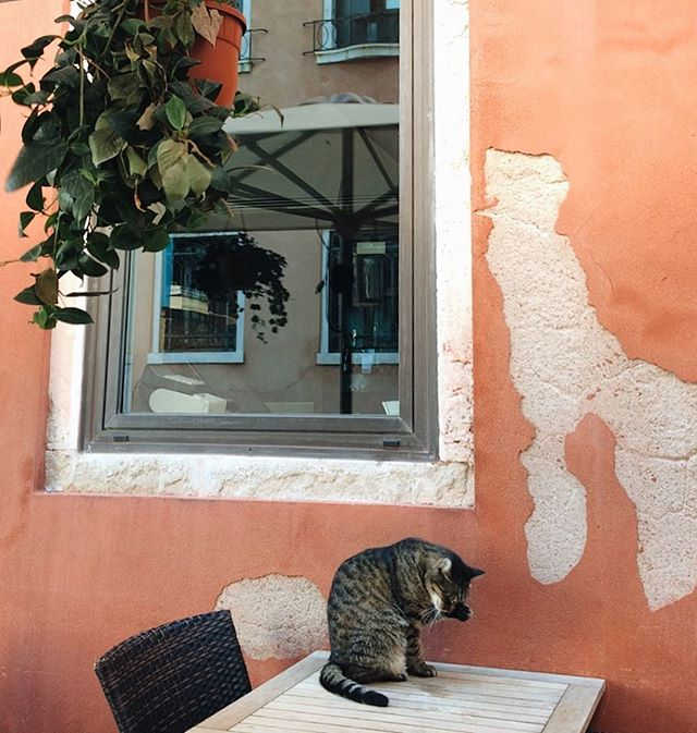 🇮🇹 Venetian Cat, Venice, July 2017 Last but by no means least, an Italian kitteh 😋 Thank you, Burr family for an amazing holiday!  #burradventures