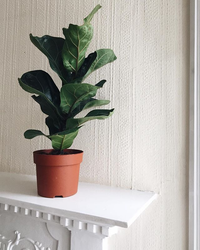 Hello there fiddle fig 👋🌿 Pride of place on @miss_teacher_tess 's mantelpiece. #plantsofinstagram