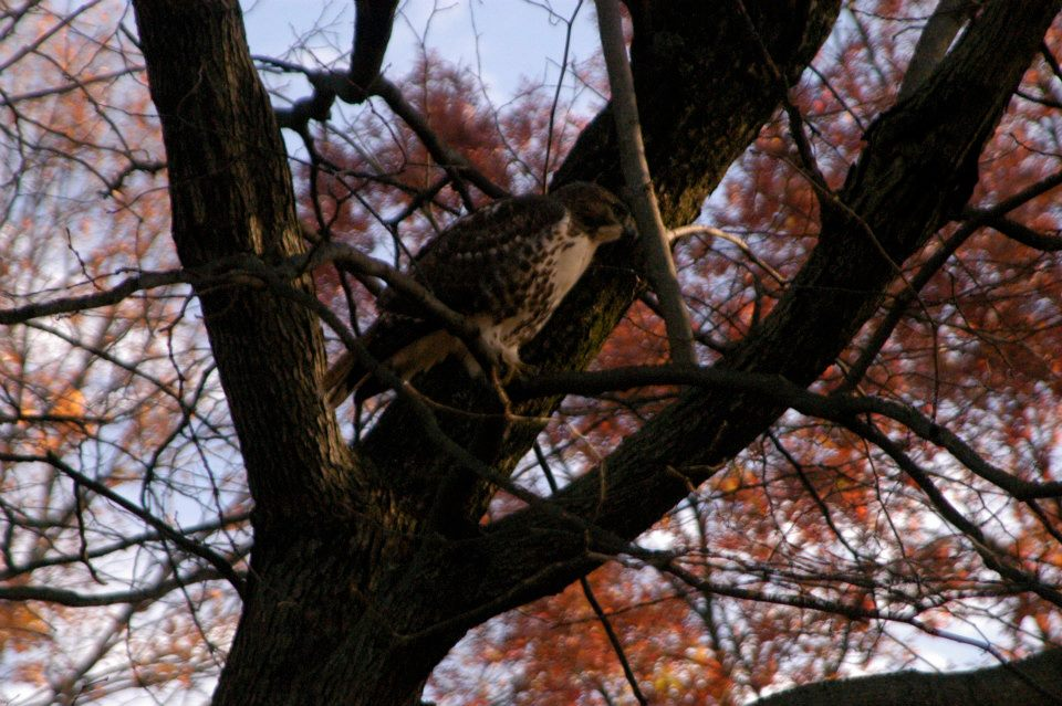 A family of hawks still hunt on Mabry's Hill today. Evelyn would probably fear for the squirrels.