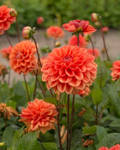 dahlia-orange-nugget-1_large.jpg