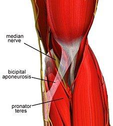pronatorteres.jpg