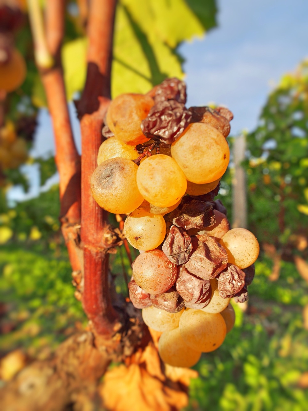 We were picking the mouldy grapes known as noble rot to make the speciality sweet wine the region is famous for.