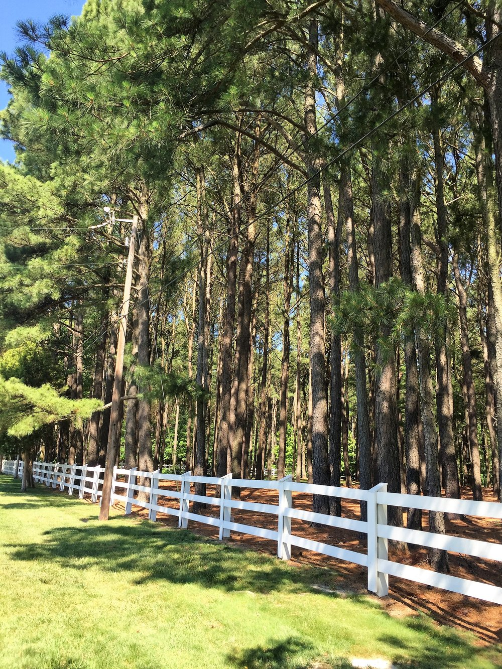 Walls of these tall, tall pine trees line the roadways of MD.
