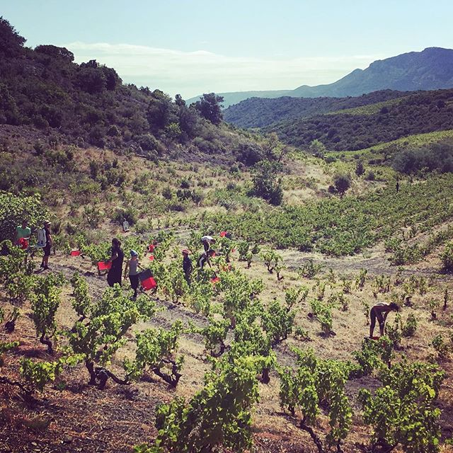 Picking in full force - great team of 12. Great first week of Macabeu, Grenache Blanc and Gris picked. Next week on to Rosè. . . . . #winewankers #instavino #light #vines #france #outdoors #fun #vino #white #winemaking #winestagram #landscape #working #roussillon #lifestyle #winelover #weekend #instagood #winery #wines #wineo