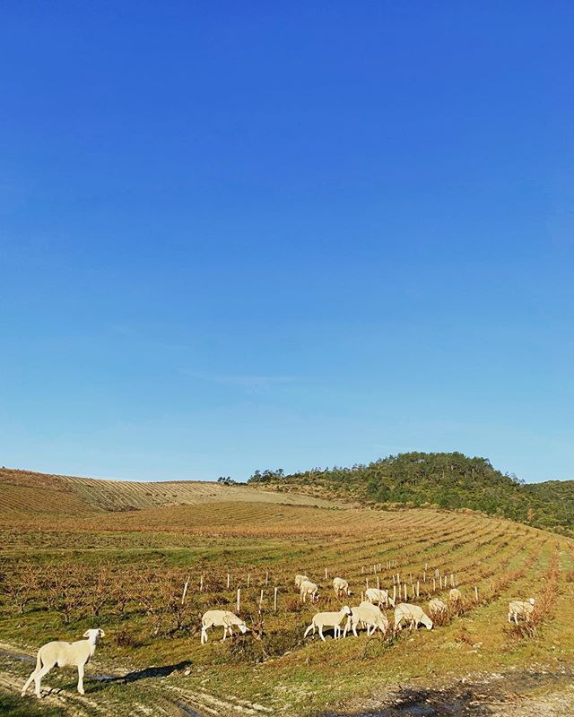Finished pruning our Grenache Vineyard. Now letting the sheep run free and enjoy eating the grass. Keeping our vineyards Organic. Thank goodness it's Friday. . . . . #vine #outdoors #blue #sky #organic #searching #fresh #wino #thinking #green #vino #winelover #tgif #weekend #sheep #air #challenges #climbing #wineo #vines #growing #fun #grass
