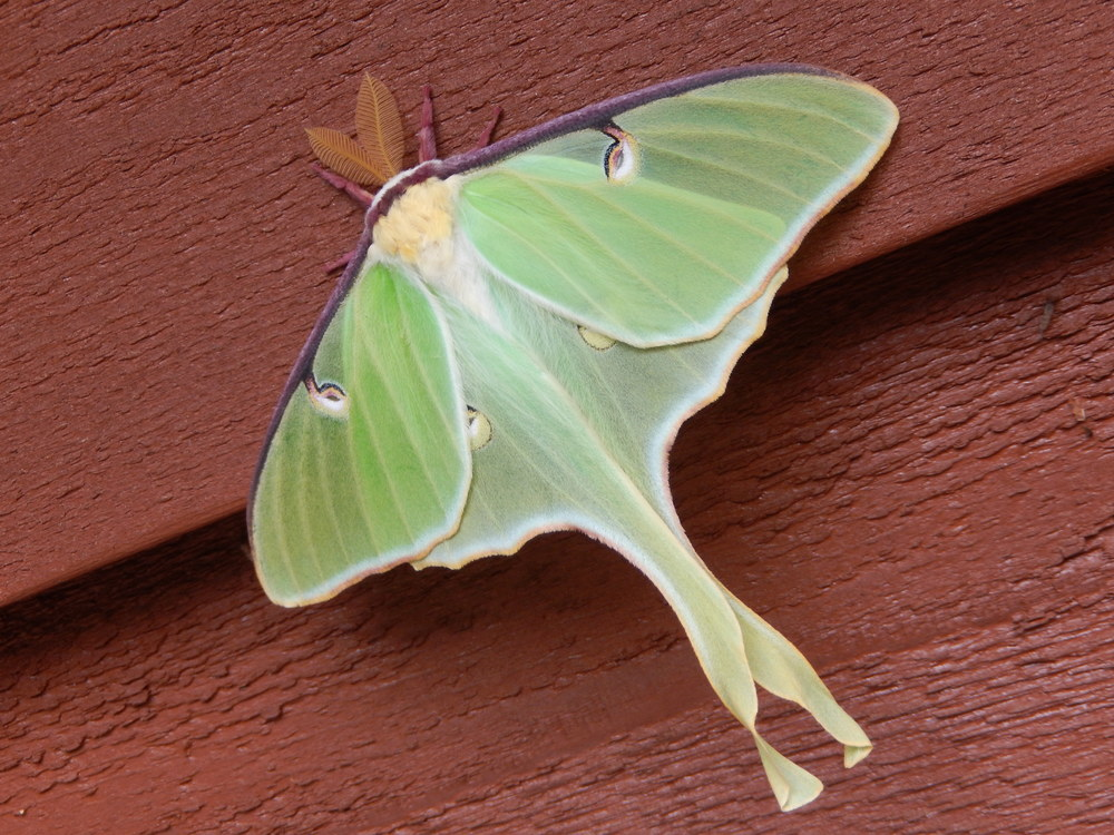 a perfect Luna Moth