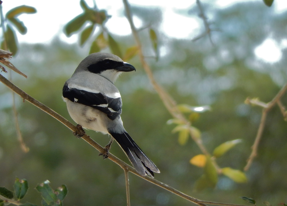 Always a special treat to see a Loggerhead Shrike!!