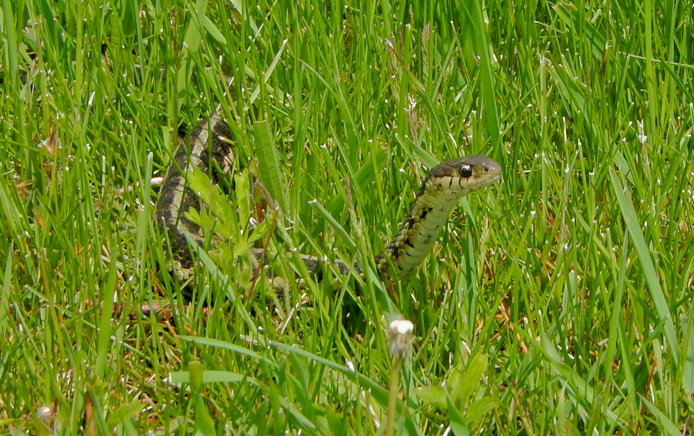 lots of Garter Snakes warming themselves in the morning sun