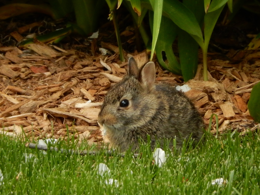 back home by the apartment, one of 5 little bunnies nibblin' on flowers