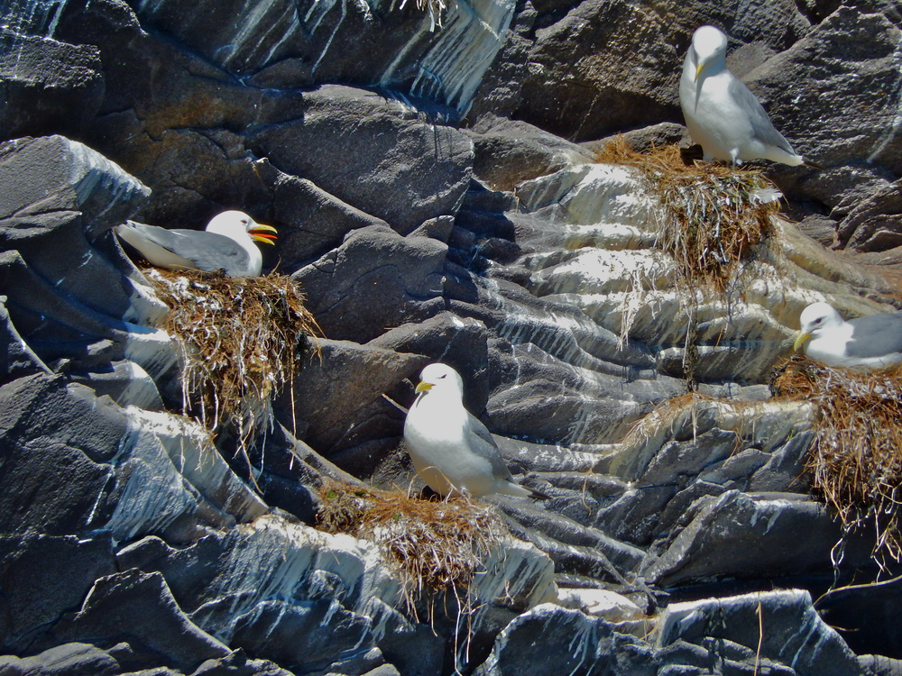 Black-legged Kittiwakes were one of many species nesting on ocean cliffs